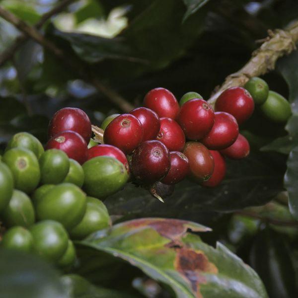 Colombia José Orlando C4P - Limited Edition - Espresso