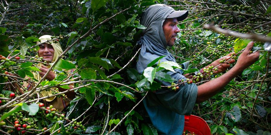 Koffieboeren voelen zich uitgebuit en vrezen voor ondergang